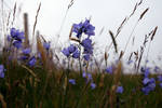 Highland Bluebell