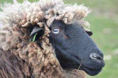 Sheep by EnNaS
