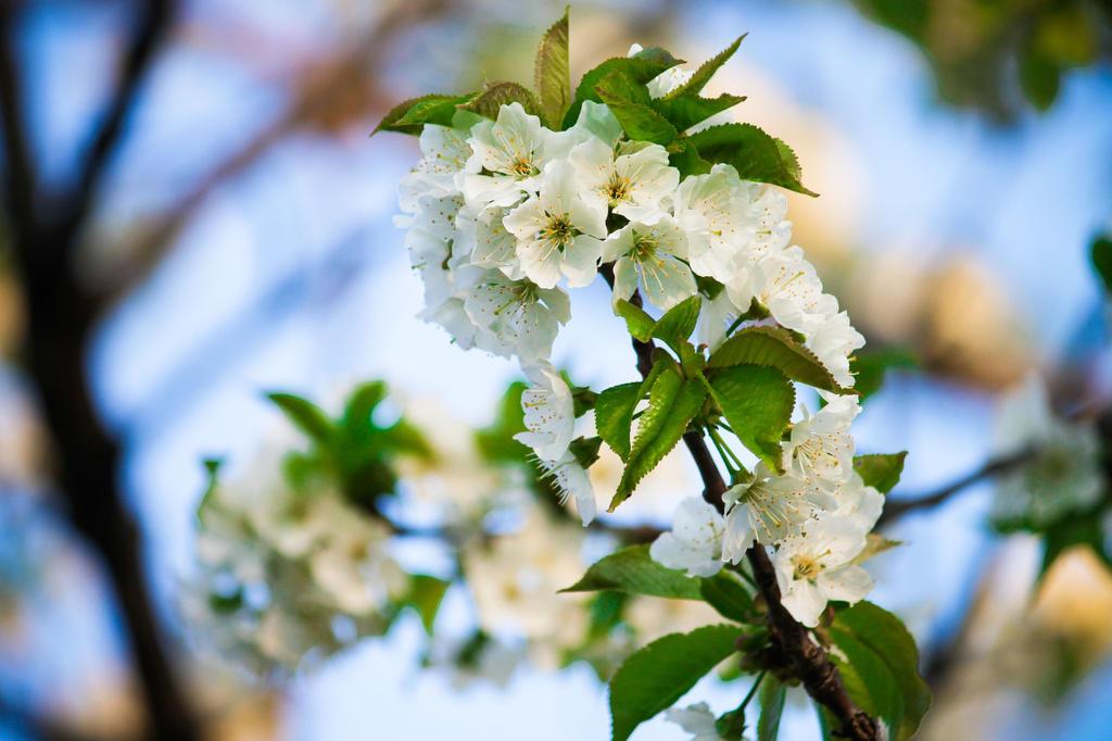 White Sakura Blossom by Luqara