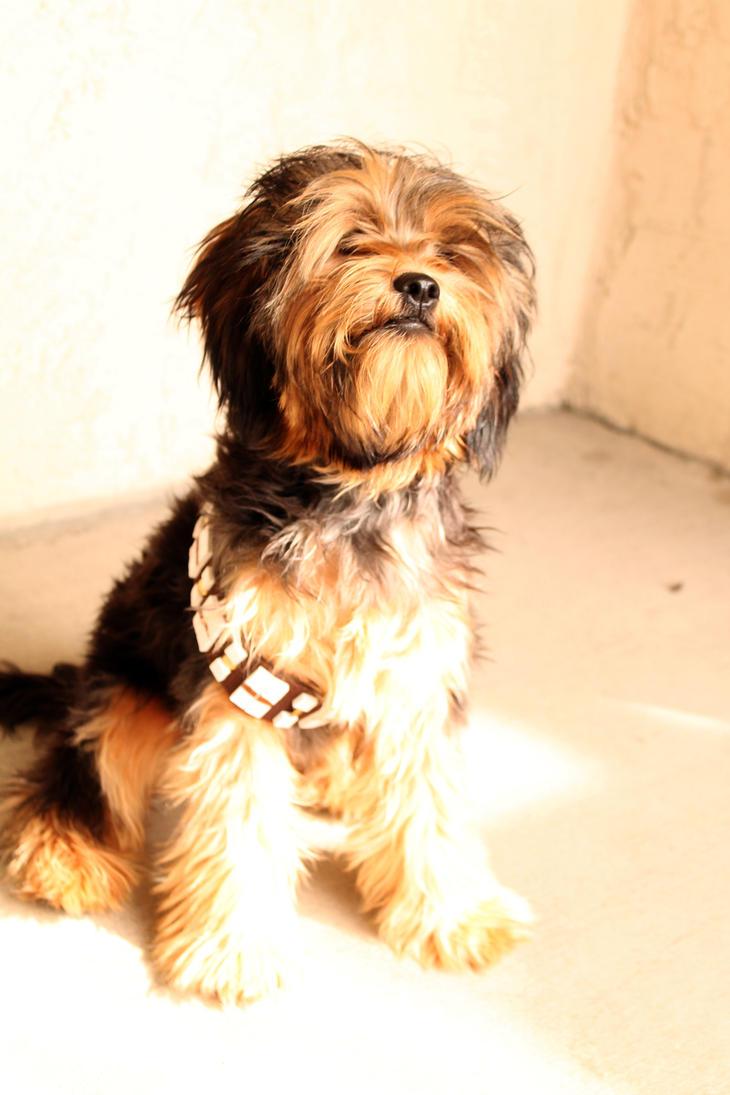 Teddy the Chewbacca Dog by nenglehardt