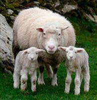 Sheep by cprmay
