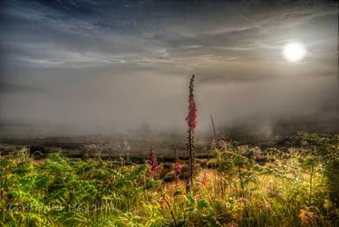 Foxglove, mist, dawn by cprmay