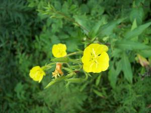 wildflower yellow