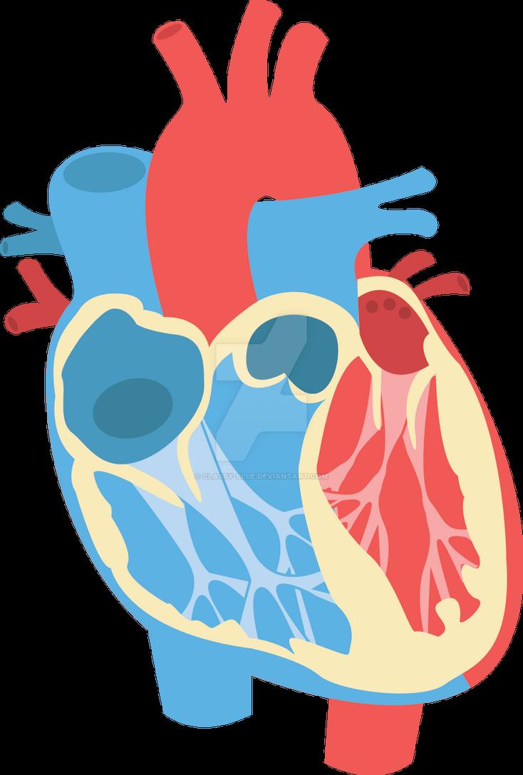 human heart diagram by classy-blue on deviantart, Muscles