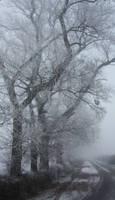 Tree's in the fog