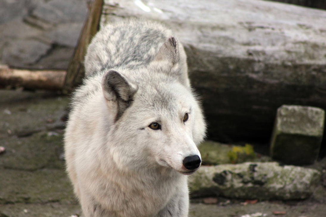 Wolf's portrait by GrayLynx