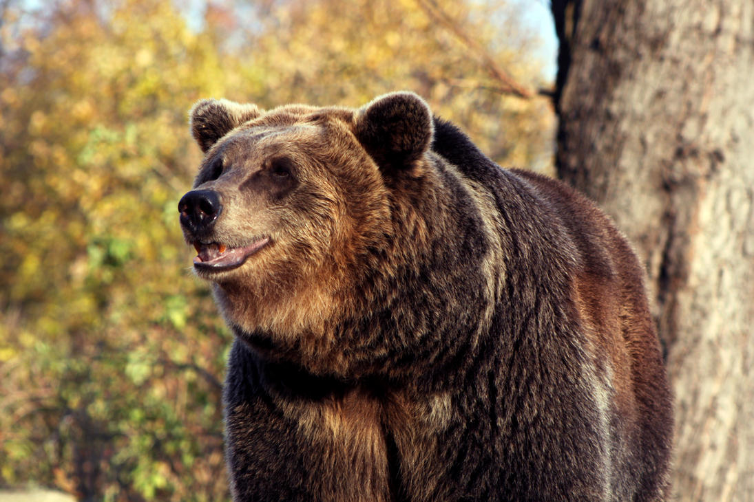 Bear's portrait by GrayLynx