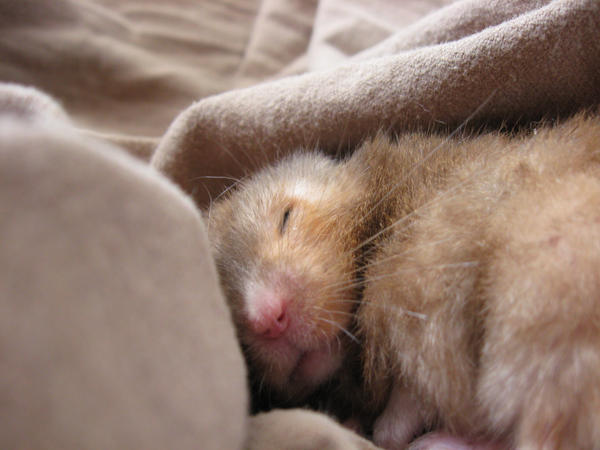 ぐっすりお休み中のハムスター