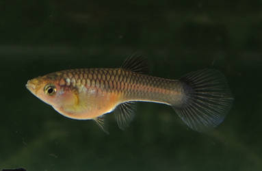Moscow Pink Female Guppy