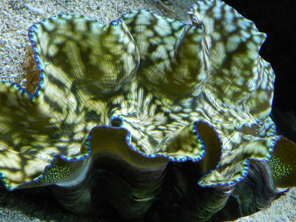 Giant Clam by artamusica on deviantART