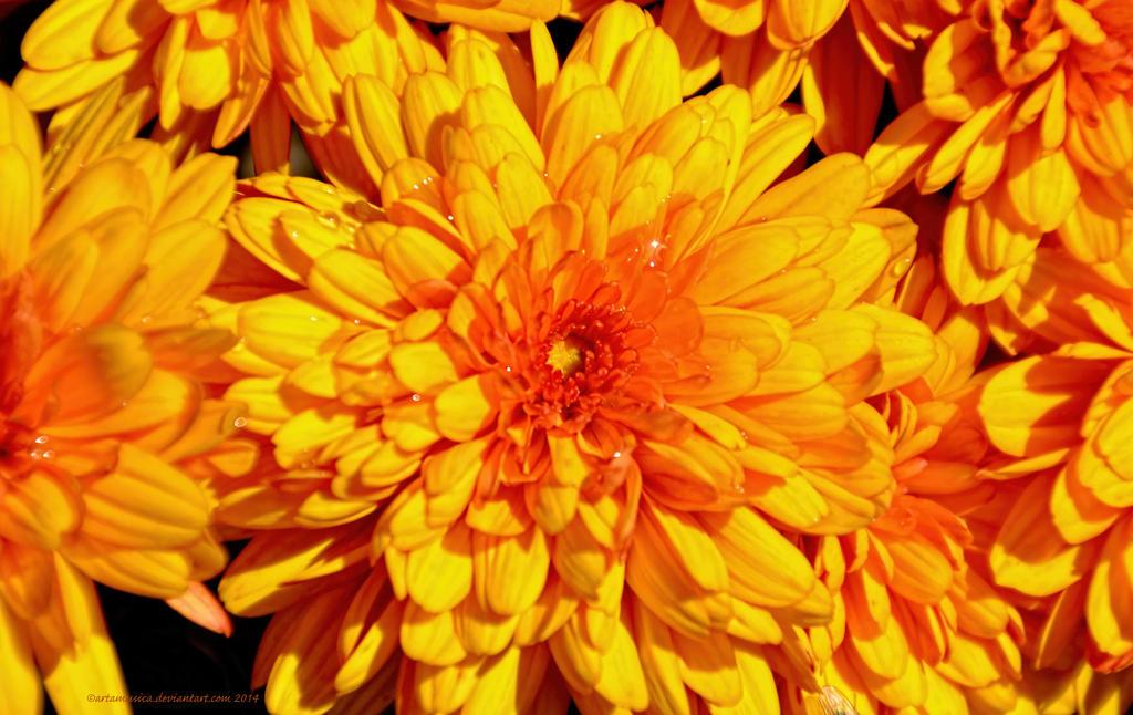 Sparkling Chrysanthemums by artamusica