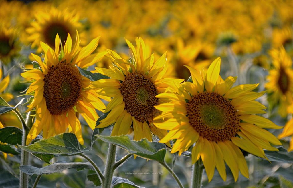 Sunflower Trio by artamusica