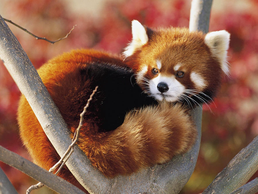 ... red panda or shining cat inhabits tree tops the red panda was