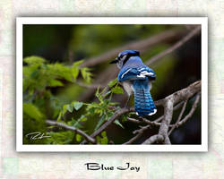 Blue Jay by Merlinstouch