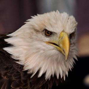 Eagle - Captive