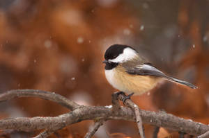 Winter Chickadee by Merlinstouch