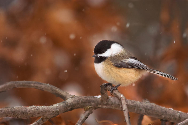 Chestnutbacked Chickadee Identification All About Birds