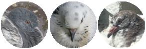 pigeon_divider_final_by_tigerdragon1001-dba9t07.png