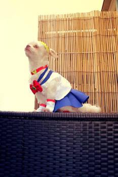 Sailor Moon Chihuahua