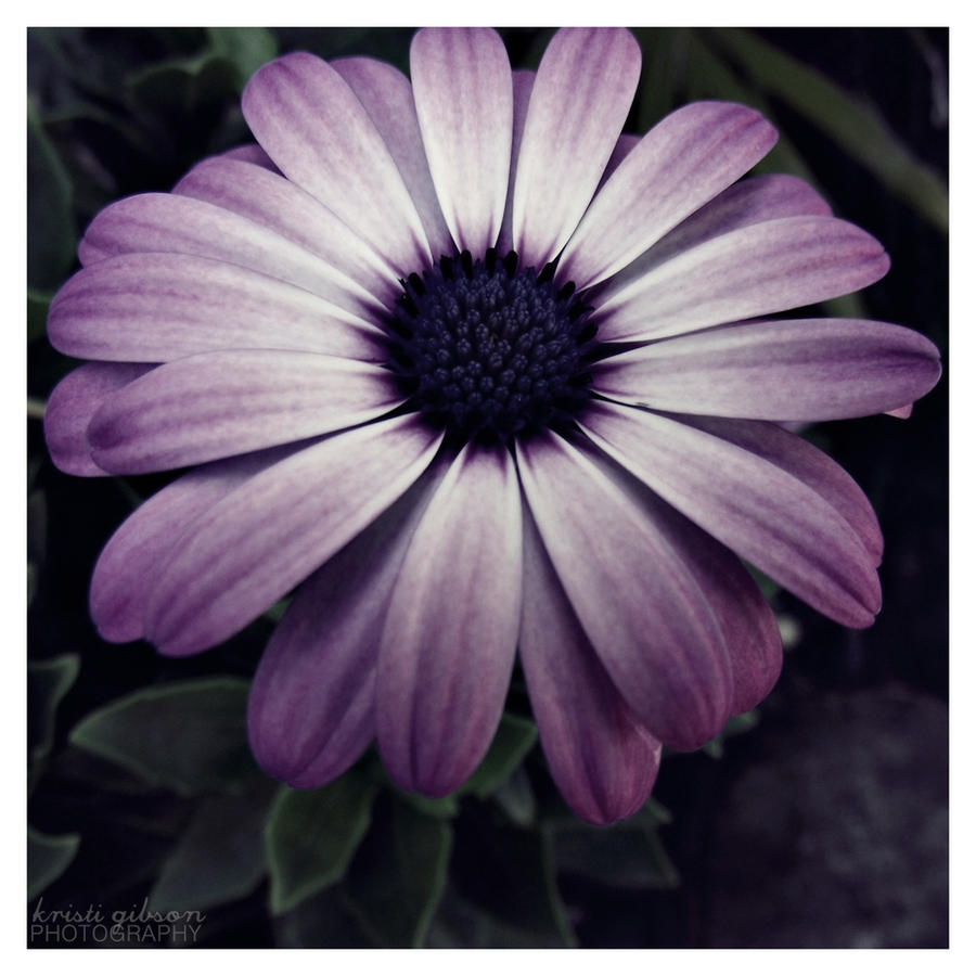 Flower : 11 by kristi-leegibson