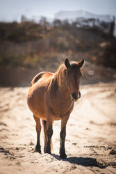 The Sand Pony