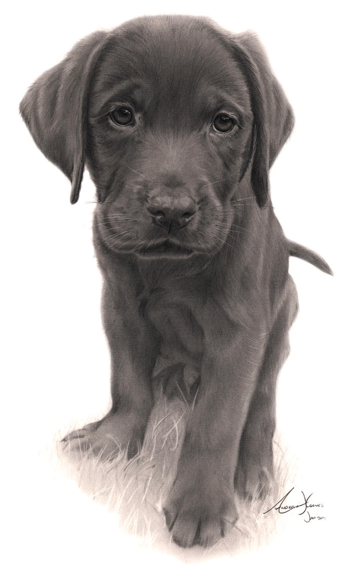 Commission Labrador Puppy By Captured In Pencil On