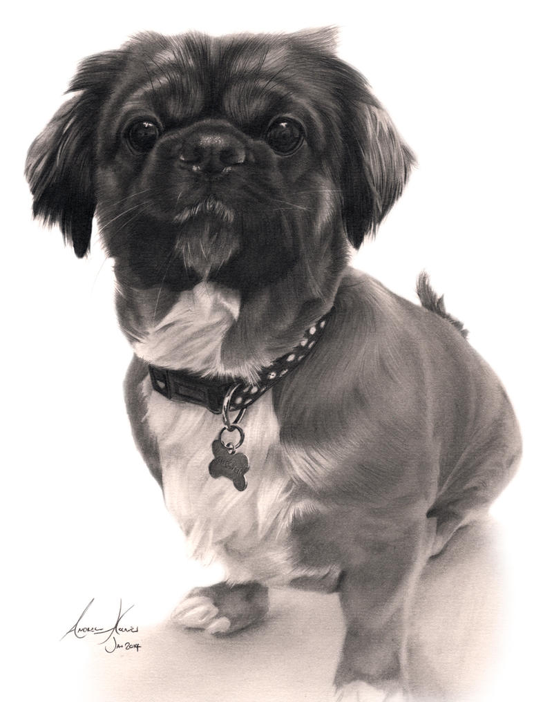 Commission - Shih Tzu cross by Captured-In-Pencil