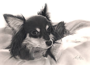 Commission - Chihuahua by Captured-In-Pencil