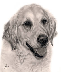 Commission - Golden Retriever 'Holly' by Captured-In-Pencil