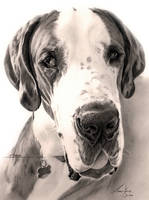 Commission - Great Dane 'Hektor' by Captured-In-Pencil