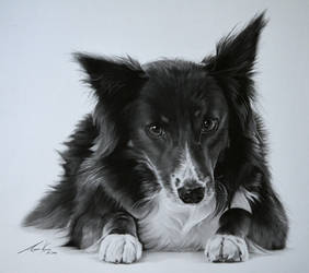 Commission - Border Collie 'Maggie' by Captured-In-Pencil