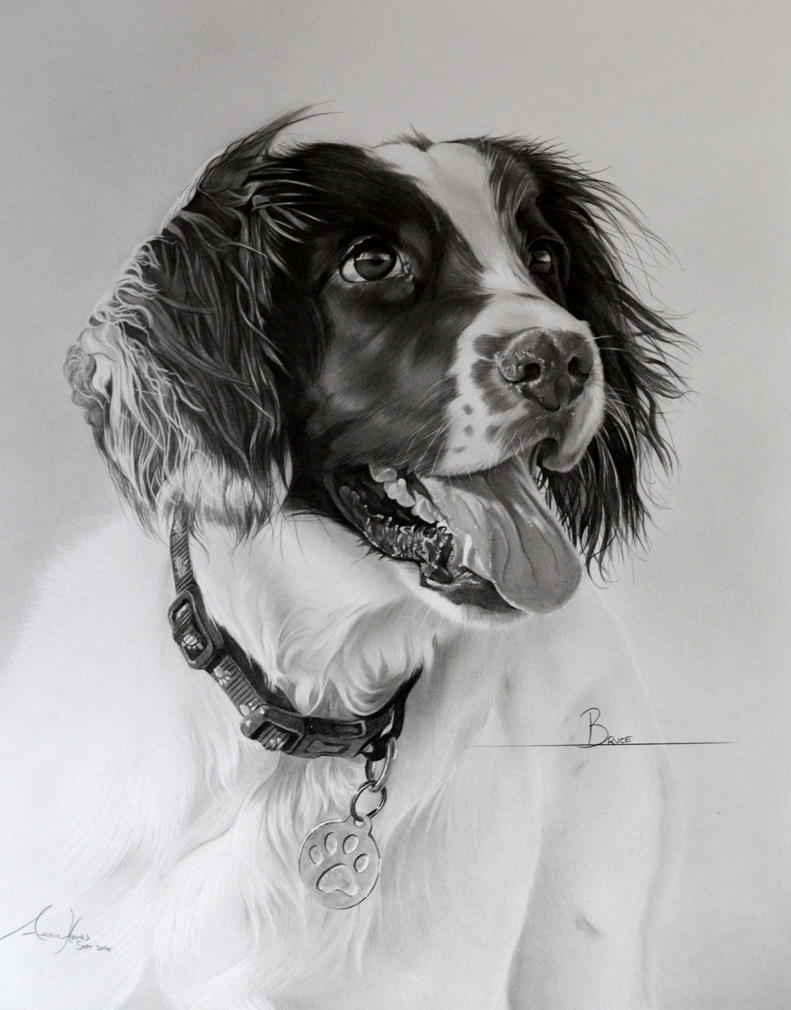 Commission - Springer Spaniel 'Bruce' by Captured-In-Pencil