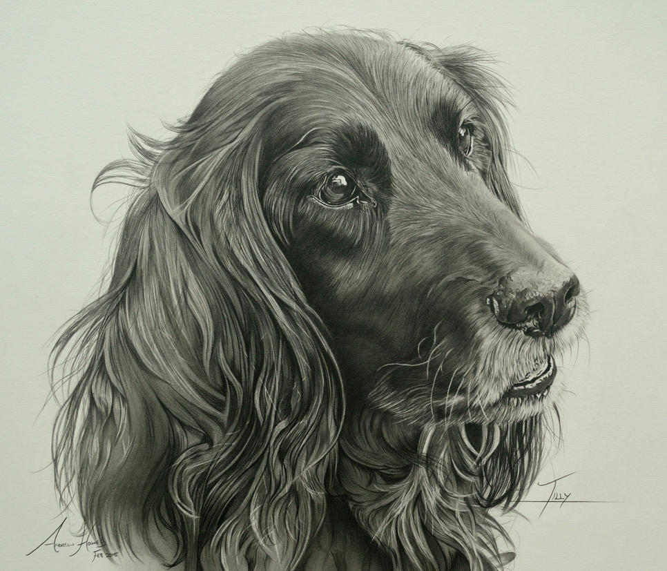 Commission - Sprocker Spaniel 'Tilly' by Captured-In-Pencil