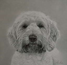 Commission - Cockapoo 'Holly' by Captured-In-Pencil