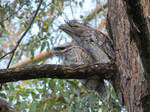 Tawny frogmouth and chick