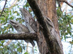 Tawny frogmouth parents and chick