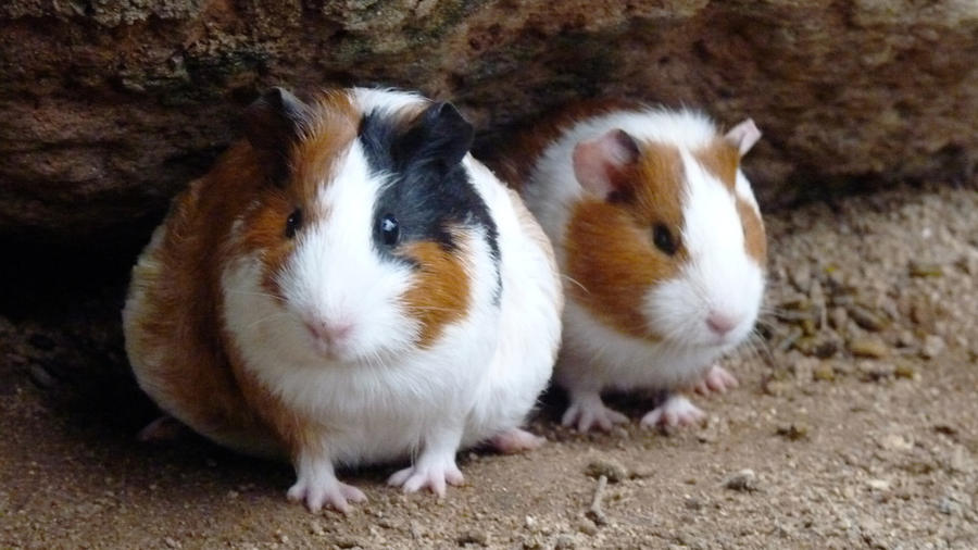 Where Did Guinea Pigs Come from The Answer Will Amaze You