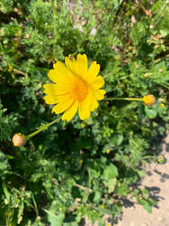 Yellow Flower (8) by sophiexxth