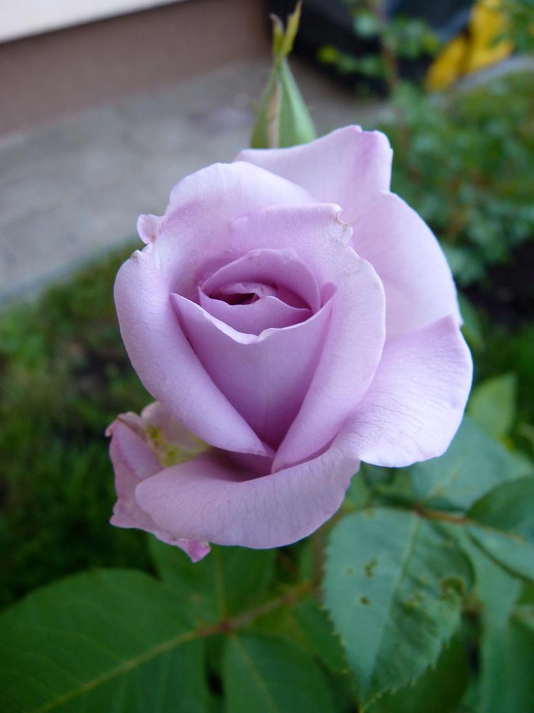 Rose by najada22