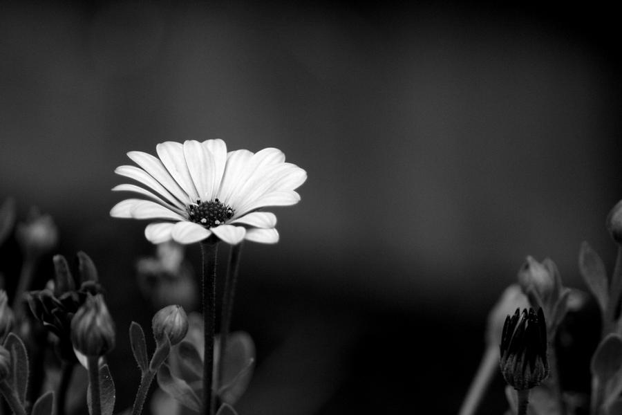 Black and white flower by eric casper