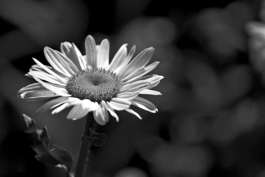Black And White Daisy... By Eric-Casper On DeviantArt