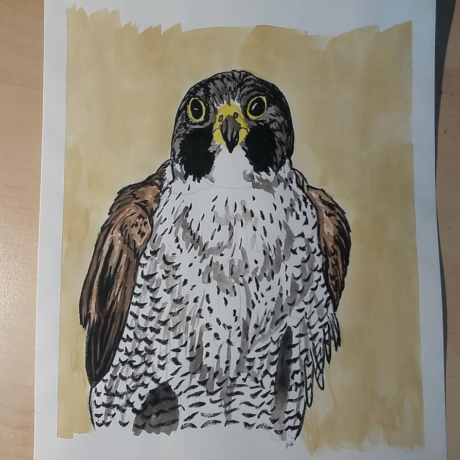 Falco peregrinus by pcitr