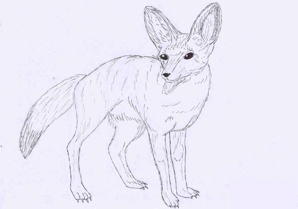 Bat Eared Fox Drawing