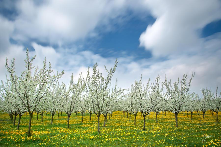 -Flowing aroma of spring- by Janek-Sedlar