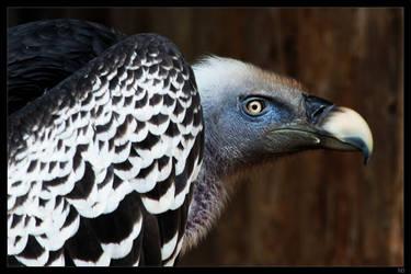 vulture by netbandit