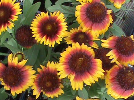 Gaillardia Flowers