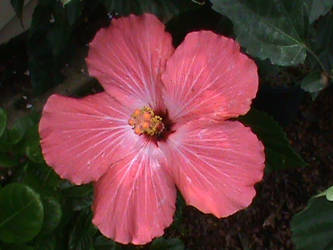 Tropical Hibiscus Flower by brwnbear