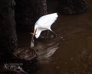 Egret Catching Fish