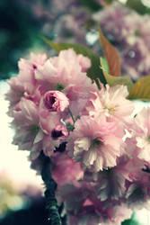 Sakura Five - Pink Cherry Blossoms