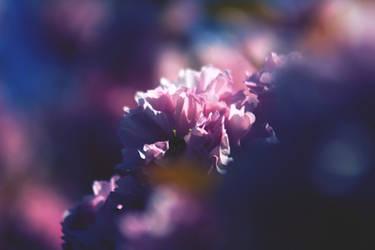 Sakura Six - Pink Cherry Blossoms